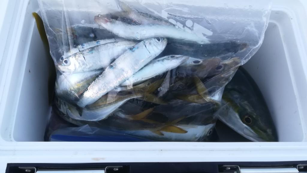 アジのサビキ釣りの釣果