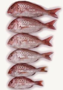 【コロナ支援の一番人気】真鯛45センチが1600円で届く!!@食べチョク