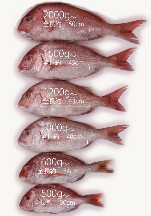 【食べチョク】コロナ支援でお得&緊急値下げの大型真鯛が送料込1600円 活〆